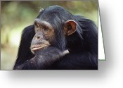 Chimpanzee Greeting Cards - A Close-up View Of Freud, One Greeting Card by Kenneth Love
