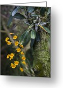 Dendrobium Greeting Cards - A Close View Of A Beautiful Dendrobium Greeting Card by Taylor S. Kennedy