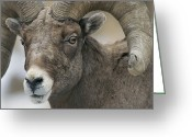 Bighorn Greeting Cards - A Close View Of A Male Bighorn Sheep Greeting Card by Tom Murphy