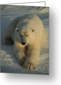 Ursus Maritimus Greeting Cards - A Close View Of A Polar Bear Resting Greeting Card by Tom Murphy