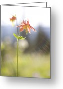 Close Views Greeting Cards - A Close View Of A Western Columbine Greeting Card by Taylor S. Kennedy