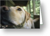 Yellow Labrador Retriever Greeting Cards - A Close View Of A Yellow Labrador Greeting Card by Heather Perry