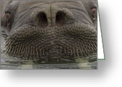 Number Circle Greeting Cards - A Close View Of An Atlantic Walrus Greeting Card by Ralph Lee Hopkins