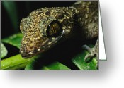 Madre Greeting Cards - A Close View Of The Head Of A Gecko Greeting Card by Tim Laman