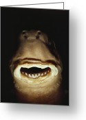 Brasiliensis Greeting Cards - A Close View Of The Mouth Of A Specimen Greeting Card by Bill Curtsinger