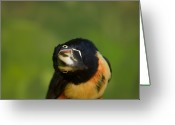 Property Released Photography Greeting Cards - A Collared Aracari Pteroglossus Greeting Card by Joel Sartore