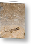 Lizard Greeting Cards - A Collared Lizard Basks In The Sun Greeting Card by Taylor S. Kennedy
