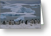 Pygoscelis Papua Greeting Cards - A Colony Of Gentoo Penguins In An Icy Greeting Card by Gordon Wiltsie