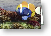 Sea Life Digital Art Greeting Cards - A Colorful Clownfish Swims Among Greeting Card by Corey Ford