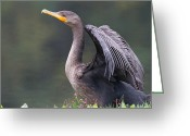 Wild Rivers Greeting Cards - A Cormorant Pose Greeting Card by Karol  Livote