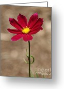 Wildflower Photograph Greeting Cards - A Cosmos Stand  Greeting Card by Neal  Eslinger