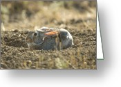 Lewistown Greeting Cards - A Cottontail Rabbit At Charles M Greeting Card by Joel Sartore