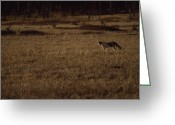 Prowling Greeting Cards - A Coyote Hunts For Prey In A Meadow Greeting Card by Gordon Wiltsie