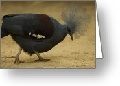Property Released Photography Greeting Cards - A Crowned Pigeon Goura Cristata Greeting Card by Joel Sartore