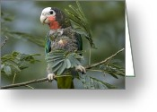 Amazon Parrot Greeting Cards - A Cuban Amazon Amazona Leucocephala Greeting Card by Joel Sartore