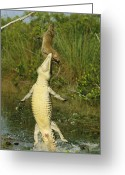 Zapata Greeting Cards - A Cuban Crocodile Leaps From Water Greeting Card by Steve Winter