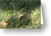 Sniff Greeting Cards - A Curious 13-lined Ground Squirrel Greeting Card by Joel Sartore