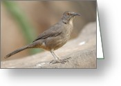 Property Released Photography Greeting Cards - A Curve-billed Thrasher Toxostoma Greeting Card by Joel Sartore