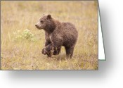 Grizzly Bears Greeting Cards - A Dashing Cub Greeting Card by Tim Grams