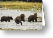 Grizzly Bears Greeting Cards - A Day at the Salmon Stream Greeting Card by Tim Grams