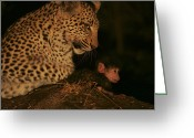 Leopards Greeting Cards - A Day-old Baboon Befriends A Young Greeting Card by Beverly Joubert