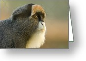 Property Released Photography Greeting Cards - A Debrazzas Monkey At The Sedgwick Greeting Card by Joel Sartore