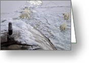 Submarines Greeting Cards - A Den Of Polar Bears Curiously Approach Greeting Card by Stocktrek Images