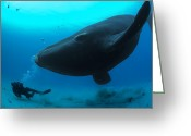 Refuges Greeting Cards - A Diver Has A Close Encounter Wih Greeting Card by Brian J. Skerry