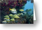 Tropical Fish Greeting Cards - A Diversity Of Grunt Fish Greeting Card by Terry Moore