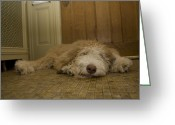 Linoleum Greeting Cards - A Dog Lies On A Linoleum Floor Greeting Card by Joel Sartore