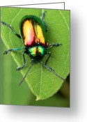 Beetles Greeting Cards - A dogbane leaf beetle, Greeting Card by George Grall