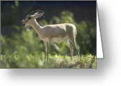 Horns Greeting Cards - A Dorcas Gazelle At The Sedgwick County Greeting Card by Joel Sartore
