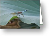 Lily Pad Greeting Cards Greeting Cards - A Dragonfly Resting On A Lily Pad Greeting Card by Chad and Stacey Hall