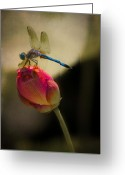 Lotus Bud Greeting Cards - A Dragonfly Rests Momentarily On A Lotus Bud Greeting Card by Chris Lord