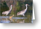 Sandhill Greeting Cards - A Family Outing Greeting Card by LaMarre Labadie