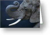 African Mountain Greeting Cards - A Female African Elephant, Loxodonta Greeting Card by Joel Sartore