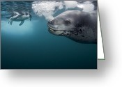 Chin Greeting Cards - A Female Leopard Seal Brings Her Catch Greeting Card by Paul Nicklen