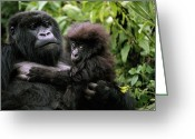 Apes Greeting Cards - A Female Mountain Gorilla And Her Child Greeting Card by Michael Nichols