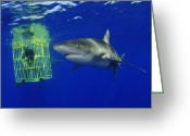Scientists Greeting Cards - A Female Oceanic Whitetip Shark Swims Greeting Card by Brian J. Skerry