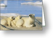 Ice Floes Greeting Cards - A Female Polar Bear And Her Cubs Greeting Card by Norbert Rosing