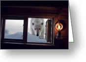 Log Cabins Photo Greeting Cards - A Female Polar Bear Peering Greeting Card by Paul Nicklen