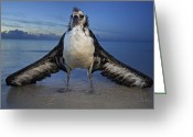Oceans And Seas Greeting Cards - A Fledgling Laysan Albatross Attempting Greeting Card by Frans Lanting