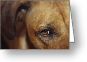 Watch Dog Greeting Cards - A Floopy Ear And Watchful Stare Greeting Card by Jason Edwards