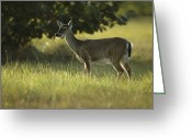 Florida Key Deer Greeting Cards - A Florida Key Deer In Its Grassland Greeting Card by Klaus Nigge