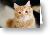 Pacific Greeting Cards - A Fluffy Orange Cat Looking At The Camera Greeting Card by Lysandra Cook