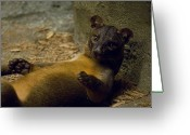 Henry Doorly Zoo Greeting Cards - A Fossa From The Henry Doorly Zoos Greeting Card by Joel Sartore