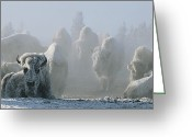 Precipitation Greeting Cards - A Frost-covered Herd Of American Bison Greeting Card by Tom Murphy