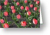 Close Views Greeting Cards - A Garden Full Of Tulips Greeting Card by Stacy Gold