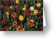 Close Views Greeting Cards - A Garden Of Tulips Greeting Card by Stacy Gold
