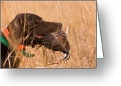 Quail Greeting Cards - A German Shetland Retrieves A Male Greeting Card by Joel Sartore